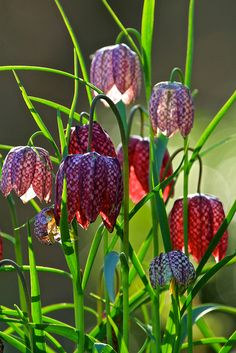 Snakes Heads (Fritillaria meleagris) -- my favorite bulb, a.k.a. Checkerboard Fritillaria. We grow these!