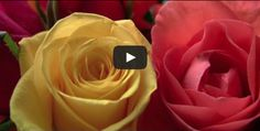 Roses – HD HF S100 Canon Camcorder Image Quality Test Focus Tracking image stabilization HD quality