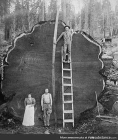 California redwood loggers, early 20th century