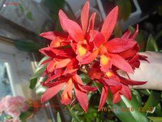 SLC.Kagaribi Dawn Red Star