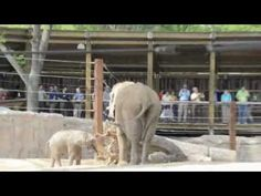Tembo Trail, the new elephant exhibit, is now open at the Toledo Zoo. Don't miss baby Lucas!