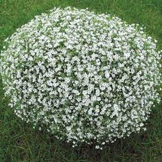 Gypsophila Gypsy White is a Baby's Breath from seed with compact white blooms and airy gray-green foliage. Winner of a Fleuroselect Award, it blooms over 3 seasons and is great for cutting. Cut Flowers, White Flowers, Garden Plants, Indoor Plants, Outdoor Topiary, Bushes And Shrubs, Perennial Vegetables, Moon Garden, Gypsophila