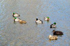 2: congregation-of-ducks-tina-m-wenger.jpg (900×598)