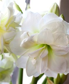 flower bulb is the Amaryllis Alfresco. These flowers are great indoor plants that are easy to grow!weeks flower bulb is the Amaryllis Alfresco. These flowers are great indoor plants that are easy to grow! Fall Plants, Indoor Plants, Nature Plants, Bulb Flowers, Flower Pots, Easy To Grow Bulbs, Amaryllis Bulbs, Amarillis, Bulbs For Sale