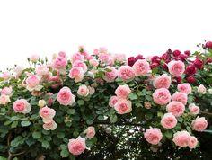 rose 40401955_m.jpg