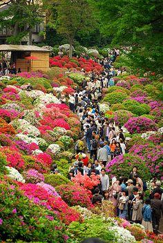 FESTIVAL DE LAS AZALEAS, TOKIO, JAPON | Nezu Jinja matsuri. Azalea festival, Tokyo. A primavera e aqui. E o festival de ano novo....