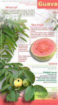 Guava faydaları infografik