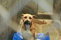 ODESSA SUPER URGENT - He is getting NO ATTENTION!! He doesn't deserve to die!! Please someone help him!Must be adopted or will DIE!!! Shepherd/Hound mix male 1-2 years old Kennel A35 Available NOW**** $51 to adopt Located at Odessa, Texas Animal Control. Must have a valid Drivers License and utility bill with matching address to adopt. They accept Credit Cards, cash or checks...PLEASE CLICK ON PIC FOR ADDITIONAL INFORMATION ABOUT THIS FURRY BABY♥♥♥