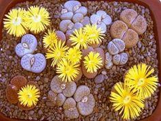 Как цветут камни - Садоводка
