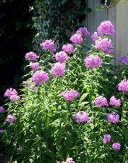 Garden Phlox Plants: Tips For Growing And Care Of Garden Phlox