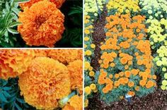 Plant of the Month: African Marigold Fall Trials