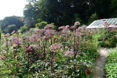 Angelica sylvestris purpurea 'Vicar's Mead' with pink inflorescences.
