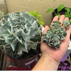 Awe man, I love succulent cuttings. Cuttings are no root succulents where it is just the fat chubby leaves and the stem. It seems weird that a succulent can be perfectly fine leaving its roots but they usually prosper! Succulent Cuttings, Propagating Succulents, Succulent Care, Succulent Gardening, Succulent Terrarium, Container Gardening, Plant Propagation, Succulent Ideas, Succulent Landscaping