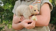 Bailey the baby Golden Brushtail Possum Baby Opossum, Cute Dogs, Cute Babies, Cutest Animals On Earth, Australia Pictures, Wild Animals Photos, Australian Animals, Cute Little Animals, Mammals