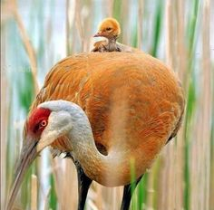 Sandhill Crane Metro by Jim Ridley Photography