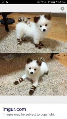 This dog is super cute has brown and white stripes on it its tail and ears and its feet I hope you like it