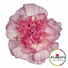 Bicolor Pink Carnation from Flores Funza. Variety: Chiquita. Availability: Year-round.