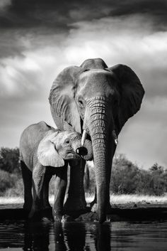 Best Elephant Photos You Never Seen Before - Animals Comparison Elephant Eating, Elephant Love, Elephant Art, African Elephant, What Do Elephants Eat, Save The Elephants, Elephant Black And White, Animals Black And White, Elephant Photography
