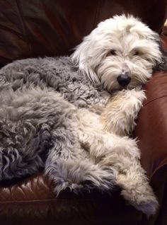 Franklin, Old English Sheepdog