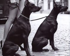 The Doberman Pinscher is among the most popular breed of dogs in the world. Known for its intelligence and loyalty, the Pinscher is both a police- favorite bree Black Doberman, Doberman Love, Doberman Pinscher, Weimaraner, Rottweiler, Baby Animals, Cute Animals, Handmade Dog Collars, Animal Nursery