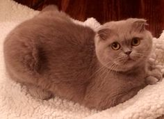 Scottish fold named Rosie... So sweet. She is lilac.