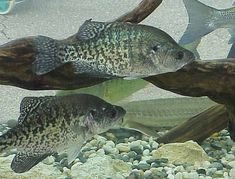 Crappie fishing made easy – day or night. Must-see fly & ice fishing tips to improve your fall & spring crappie bass fishing technique. - World Fishing Network Crappie Fishing Tips, Bass Fishing Tips, Gone Fishing, Carp Fishing, Best Fishing, Saltwater Fishing, Kayak Fishing, Fishing Stuff, Fishing Basics