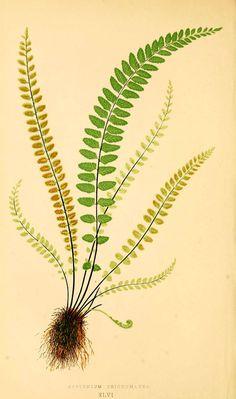 Vintage E. J. Lowe Fern Art Print - Botanical Wall Art - Beautiful Antique Art Print, Green Fern Print, Fern Wall art, Any Style Decor