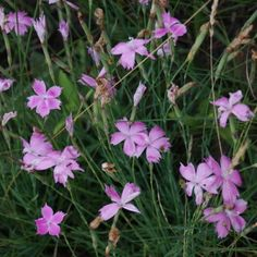 Dianthus mooiensis usually grows very close to tufted grass that supports the straggly habit. Plant in a well-drained soil. Carnations, White Flowers, Perennials, Grass, Herbs, Plants, Grasses, Herb, Plant