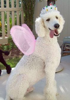 This is how I would groom my standard poodle - minus the crown and fairy wings!! :)