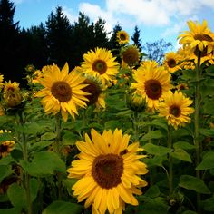 A field of #Sunflowers