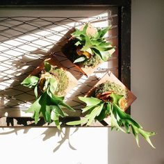 Staghorn ferns soaking up these glorious winter rays . Come make one of these with us on Tuesday! Sign up (or just have us ship you one) at the link in profile.
