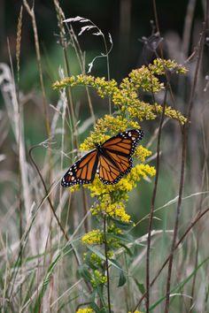 Monarch Butterfly at Kancamangus Highway, NH.