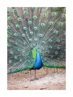 'A Brazilian Peacock' on Minted.com