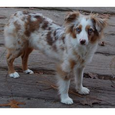 TOY or miniature Australian Shepard... Didn't even know this toy breed existed until I saw it for the first time in NYC! Blew me away!