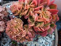 Image result for crested Echeveria