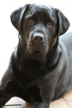 Black Labrador Retriever. This dog reminds me of one of my first dogs, Jimmy.