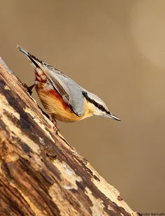 Red breasted nuthatch, love these little birds!