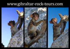 2 month bay ape / www.gibraltar-rock-tours.com Game Of Thrones Characters, Tours, Rock, Fictional Characters, Skirt, Locks, The Rock, Rock Music, Fantasy Characters