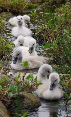 adorable young swans