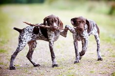 Kaiser and Lugar at 14 weeks old- German shorthair pointers
