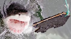 Newsela | Are great white sharks safe or endangered? The count isn't clear