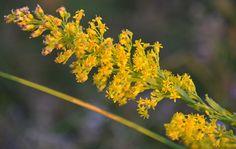 Stems of Yellow