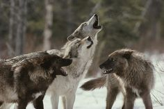 wolf pack (from Ana Fernández)