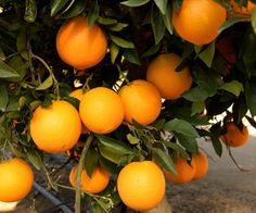 Orange Tree-  Fragrant flowers, rinds, and fruits make oranges some of the most perfume-rich plants you can grow. There are hundreds of different cultivars. Look for a cultivar that fits your needs. For example, some are best for juice, eating fresh, or harvesting the rind. Choose a dwarf tree or shrub form for easy harvest and pruning.
