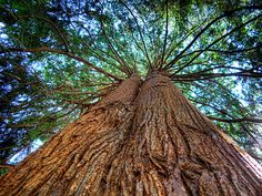 Western Red Cedar by Evan Leeson Cedarwood Oil, Cedarwood Essential Oil, Essential Oils, Cedar Essential Oil, Cedar Oil, Tree Day, Cedar Trees, Bug Control, Western Red Cedar