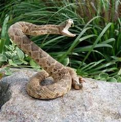Rattlesnake Striking At Camera Images & Pictures - Becuo