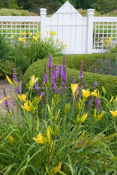 Old-fashioned and heirloom flowering plants: Hemerocallis daylily garden in summer near house with fence, Liatris, yellow daylilies. Both perennials can be divided in summer.