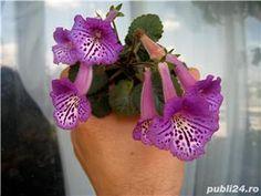 mini sinningii - imagine 5 Mini, Floral, Flowers, Plants, Jewelry, Jewlery, Jewerly, Schmuck, Jewels