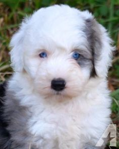 Miniature Sheepadoodle Puppies - NON-SHEDDING- 1 Year Written Health Guarantee -. Mother is a 65 pound AKC Old English Sheepdog and Father is a 30 Pound Moyen Merle Poodle. Young puppies mature, generally, at pounds. These puppies are born and. Cute Cartoon Animals, Cute Animals, Cute Puppies, Dogs And Puppies, Havanese Puppies, Animals And Pets, Baby Animals, Pet Dogs, Dog Cat