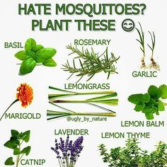 Keep mosquitoes away naturally with plants, in n your balcony or in your garden.